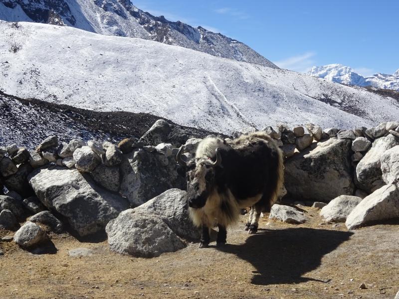 Obligatory yak portrait