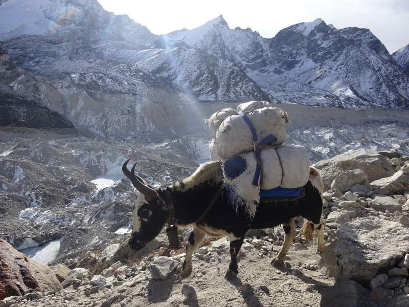 Yak carrying a load, with the Khumbu glacier in the background